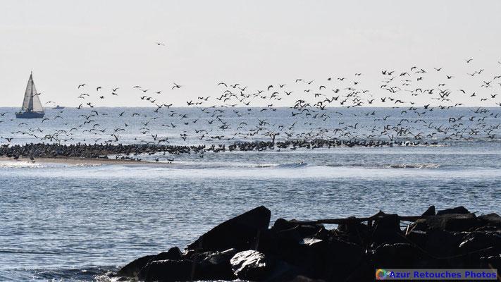 Plus de 1500 goélands leucophées se sont regroupés sur un banc de sable à l'embouchure de l'Argens