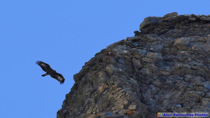 Aigle royal devant les falaises du Pic du Trou de l'Aigle