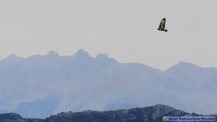 Buse variable devant les Tours du lac d'Allos