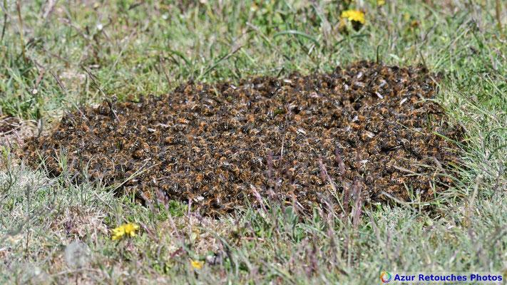 Essaim d'abeilles au sol
