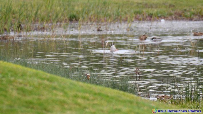 Un canard mandarin se cache sur la rive