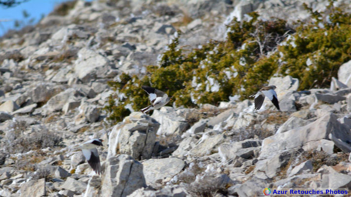 Niverolles alpines