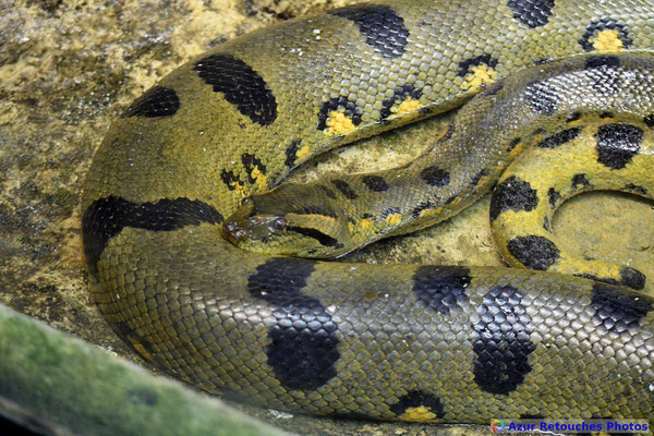 Anaconda vert