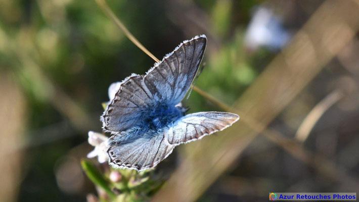 Bleu nacré