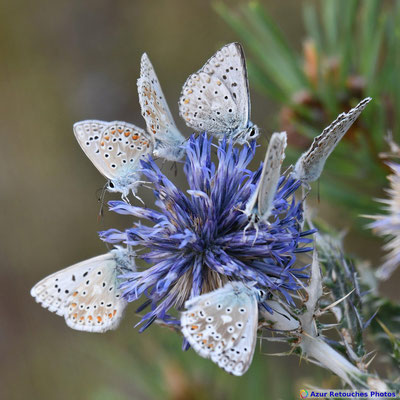 Argus bleus nacrés