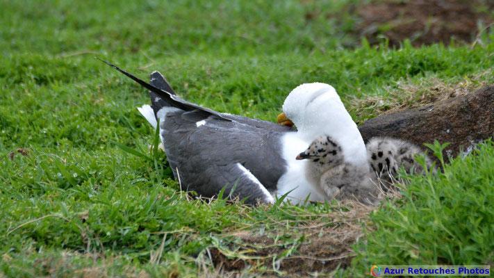 Goéland brun au nid