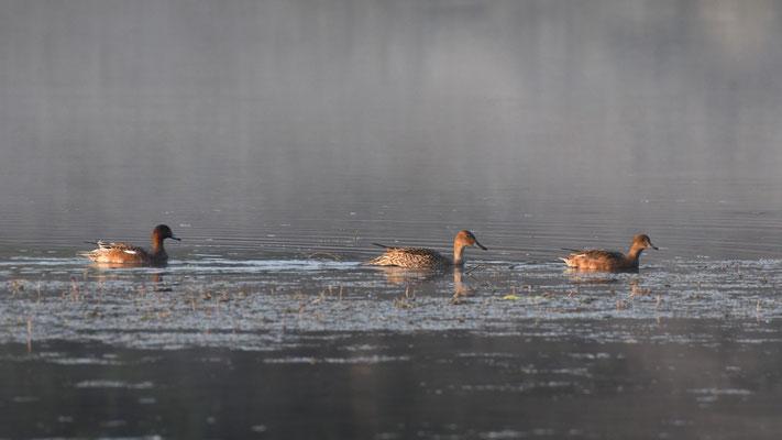 Canards siffleurs et canard pilet