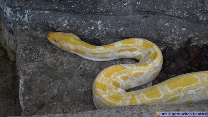 Python molure albinos