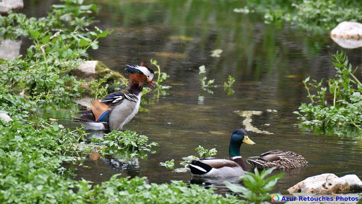 Canard mandarin et canards colverts
