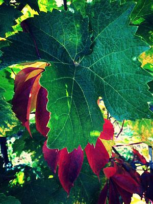 Weinanbau in Ungarn