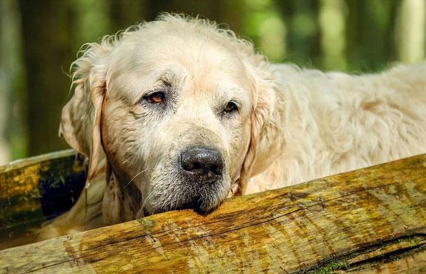 Vieux chien - Golden retriever