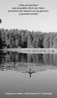 Schwan nähert sich sanft, aber zielstrebig. - Kleiner See bei Mühlenbeck-Summt, Landkreis Oberhavel (Brandenburg)