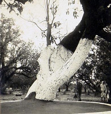 1940 : Mandla property old large tree. Courtesy of the Jessawala Collection.