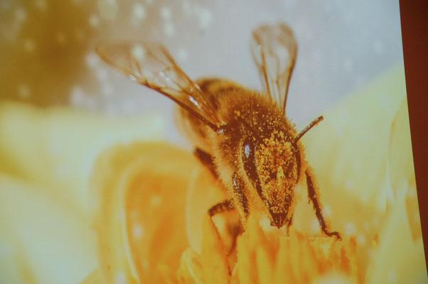 Beeindruckende Aufnahmen von Bienen zeigt die Referentin in ihrer Präsentation.
