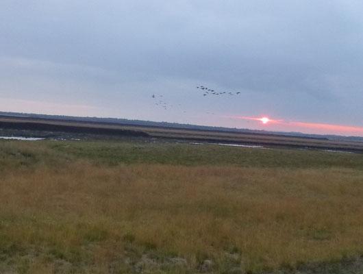 Einflug der Kraniche im Licht der untergehenden Sonne