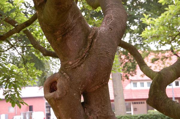 """""""Selbsthilfe der Natur"""", stützende Verästelung einer Magnolie"""