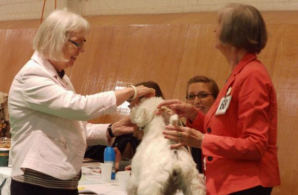 Die Richterin begutachtet den West Highland White Terrier von Frau Jürgens