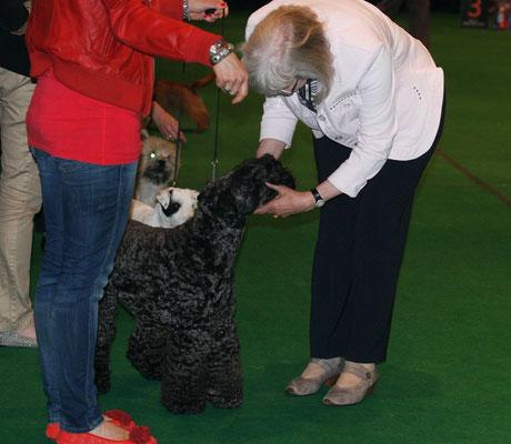 Die Richterin schaut sich noch mal den Kerry Blue Terrier genau an
