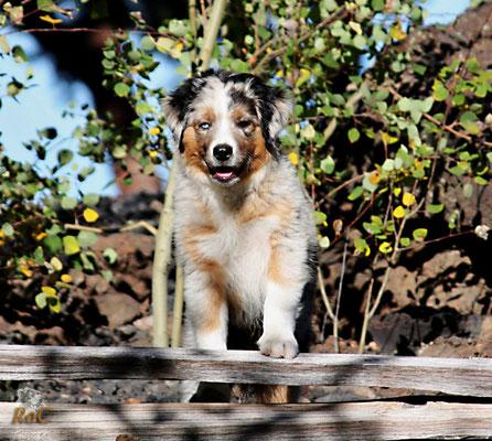 Australian Shepherd Mini