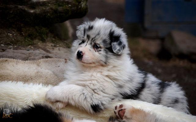 Australian Shepherd Welpen Blue Merle