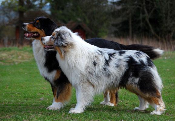 Mini Australian Shepherd und Standard Aussie
