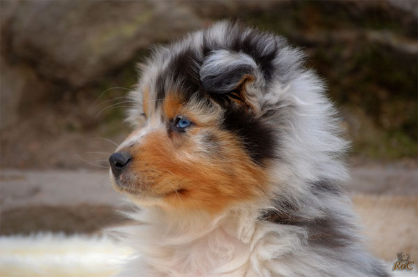 Australianshepherd