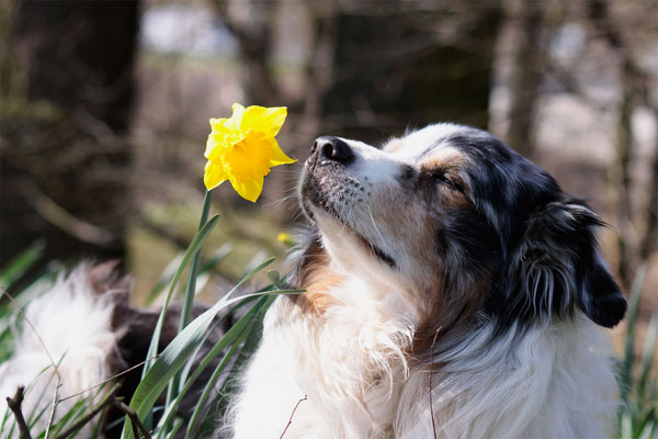 Jasko - Australian Shepherd - genießt den Frühling