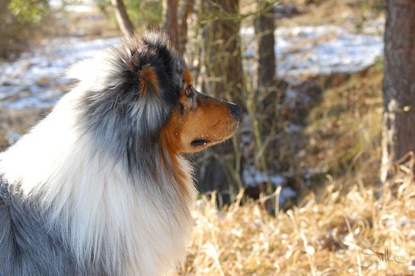 Australian Shepherd Merle