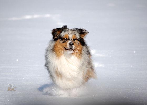 Viele Aussies haben spass im Schnee