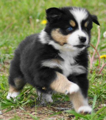 Miniatur Australian Shepherd blaue Augen