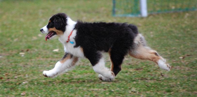 Australian Shepherd Rüde black tri
