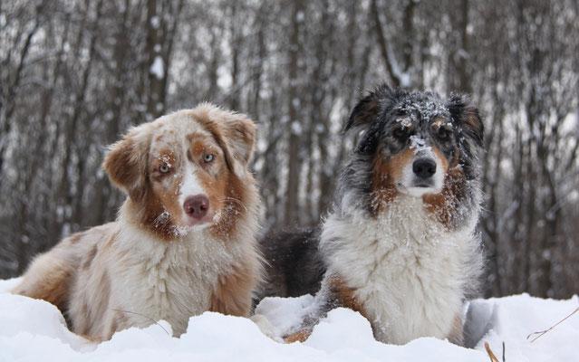 Australian Shepherd Red Merle und Blue Merle