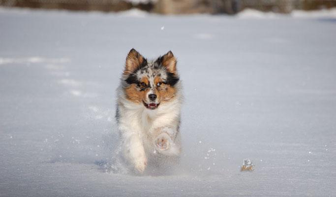 Australian Shepherds lieben Schnee