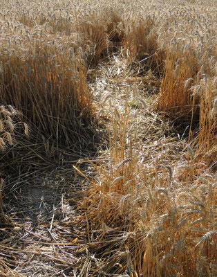 Un champ de blé à Auvers-sur-Oise