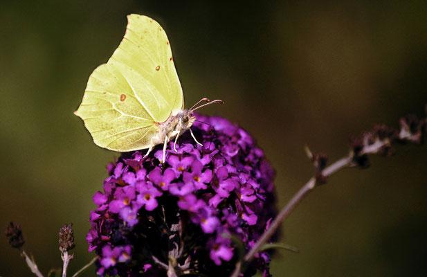 Theodor Kaiser (13 Jahre) - Schmetterling