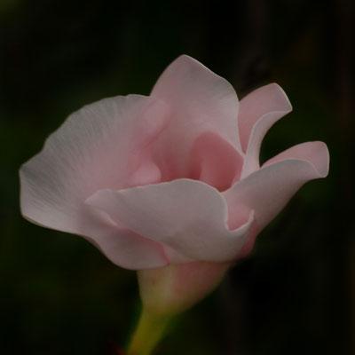 Luna Bertelmann (13 Jahre) - Blütentraum
