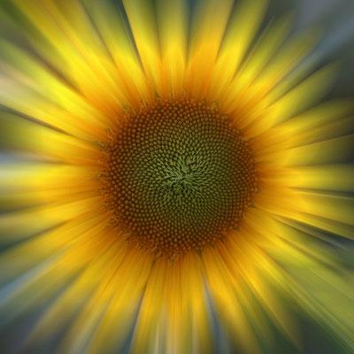 Jennifer Junghans - Sonnenblume
