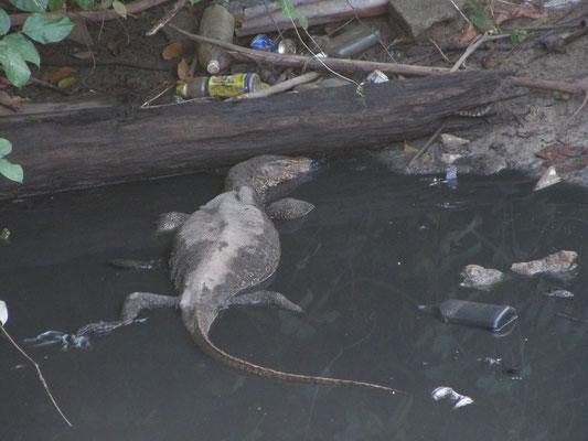 Einer der unzähligen Inselbewohner beim Müllbaden.