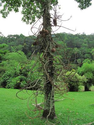 Ein Baum im Botanischen Garten.