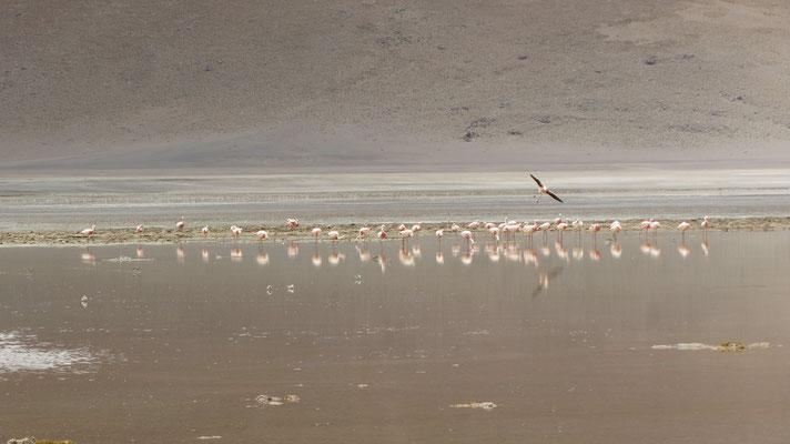 Die ersten Flamingos.