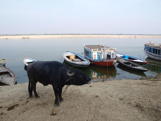 Überall eine Kuh.
