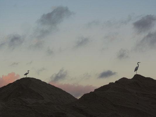 Zwei Fregattvögel auf den Dünen am Strand von Leblon.
