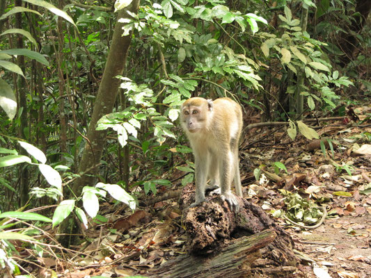 Long tail macaque (Javaneraffe).