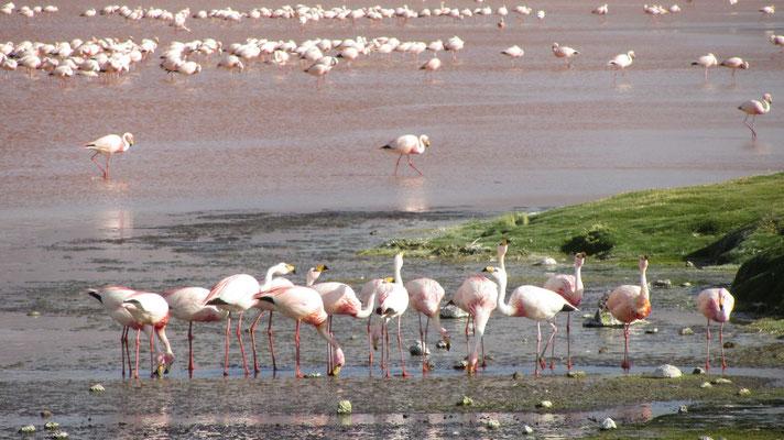 Der See ist für seine großen Bestände von Flamingos der drei Arten Chileflamingo, Gelbfuß- oder Andenflamingo und James- oder Kurzschnabelflamingo bekannt.