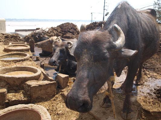 Varanasi ist ein Paradies für Kühe, jedenfalls was die Größe ihres Spielraums betrifft.