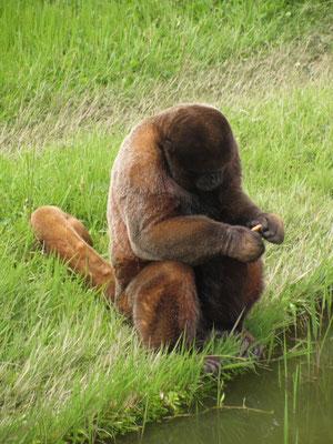 Samtweicher Affe bei der Keksbetrachtung.