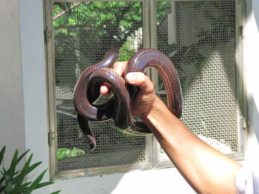 """Schlange in der """"Snake Farm"""". Nebenan hatte sich Chihi ihre Hepatitis-Auffrischung geholt."""