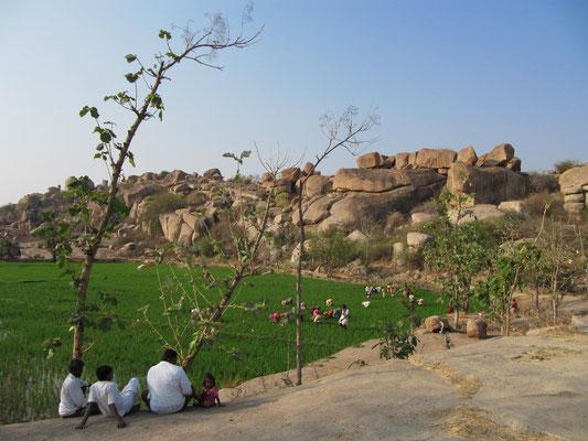 Das Reisfeld im Vorgarten Virupapur Gaddis.