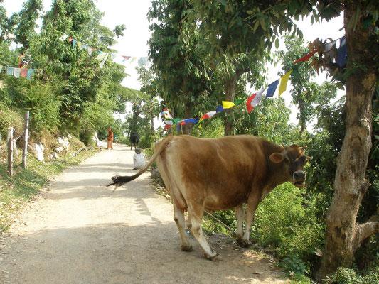 Kuh am Wegesrand.