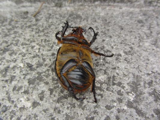 Käfer auf dem Rücken. Vielleicht tot.